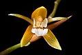 Coelogyne candoonensis Ames, Schedul. Orchid. 6 18 (1923) (41624955225).jpg