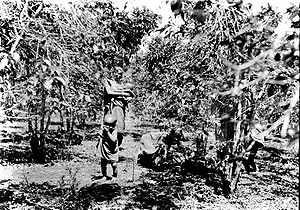 Coffee production in Kenya - A coffee plantations in Kenya in 1936.