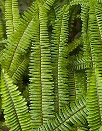 Nephrolepis cordifolia, fjäderbräken