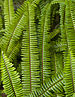 Cola de Quetzal (Nephrolepis cordifolia), jardín botánico de Tallinn, Estonia, 2012-08-13, DD 01.JPG