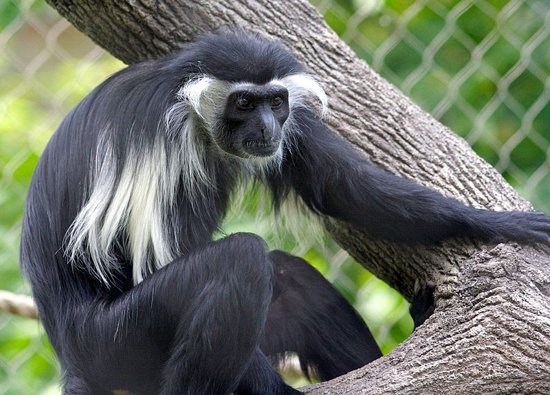 https://upload.wikimedia.org/wikipedia/commons/thumb/5/5a/Colobus_angolensis.jpg/800px-Colobus_angolensis.jpg