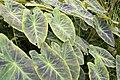 Colocasia esculenta var. illustris 2zz.jpg