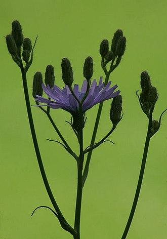 Lactuca macrophylla - Image: Common Blue Sow thistle (Cicerbita macrophylla) geograph.org.uk 660508