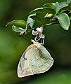 Common Emigrant (Catopsilia pomona)- Female at Kolkata Iws IMG 0269.jpg