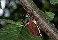 Common European Cockchafer (Melolontha melolontha), Parc de Woluwé, Brussels (26453297074).jpg