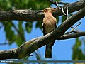 Common Hoopoe (Upupa epops) (20614831849).jpg