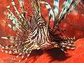 Common Lionfish.jpg