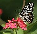 Common Mime - Papilio clytia (dissimilis form) on Jatropha panduraefolia in Kolkata Iws IMG 0243.jpg