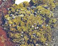 Common Periwinkles (Littorina littorea) on Seaweed - Nesodden, Norway 2020-09-20 (01).jpg