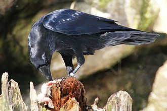 Common raven - Feeding