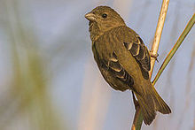 Common Rosefinch Baur reservoir Uttarakhand 03.12.2014.jpg