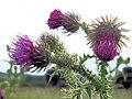 Common Thistle on the verge of the track to Wilstone Reservoir - geograph.org.uk - 1440424.jpg