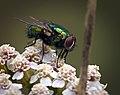 Common green bottle fly (49367098737).jpg