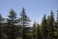 Conifers - Green Valley 2014-05-08 1602.JPG