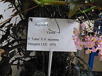Conservatoire du bégonia 2015. Begonia 'Osata' 02.JPG