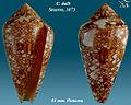 Conus dalli 1.jpg
