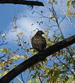 Cooper's Hawk, McConnel Springs Park in Lexington, Kentucky 1.jpg