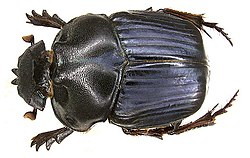 Coprophanaeus milon Blanchard, 1843 male (3418130407).jpg