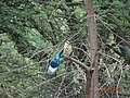 Coracias benghalensis, Ranthambore 1.jpg