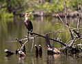 Cormoran olivaceo - Phalacrocorax brasilianus 2.jpg