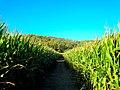 Corn Maze - panoramio (1).jpg