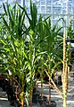 Corn in Agricultural Research Greenhouse.jpg
