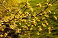 Cornelian cherry dogwood (25464471580).jpg