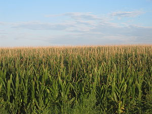 English: Cornfields in Prowers County, Colorad...