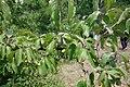 Cornus mas, familija Cornaceae 10.jpg