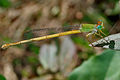 Coromandel Marsh Dart (Ceriagrion coromandelianum)- Male W IMG 3835.jpg