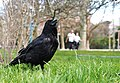 Corvus corone, Paris 2016.jpg