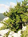 Corylus colurna subadriatic dinaric mountains Orjen 2.JPG