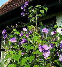 Corynabutilon vitifolium