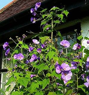 <i>Corynabutilon vitifolium</i> Species of plant in the family Malvaceae