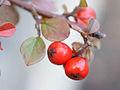 Cotoneaster horizontalis, fruit 01.jpg