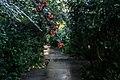 Cotoneaster lacteus na Gulbenkian (30889691050).jpg
