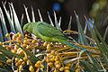 Cotorra de Kramer (Psittacula krameri)(♀) (6950168725).jpg