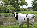 Cow by pond - geograph.org.uk - 430912.jpg