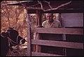 Cow on a Farm near Leakey, Waiting to Be De-Horned. Near San Antonio, 12-1973 (3704388228).jpg