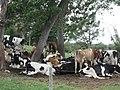 Cows in Garrochales, Arecibo, Puerto Rico.jpg