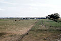 Cows in pasture - Marion County, IA Farm 1957.JPG