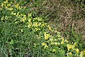 Cowslips, Primula veris - geograph.org.uk - 412181.jpg