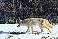 Coyote (24251813093).jpg