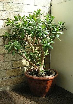 Crassulaceae - Jade plant or Friendship Tree, Crassula ovata