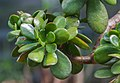 Crassula portulacea, jardín botánico de Tallinn, Estonia, 2012-08-13, DD 01.JPG