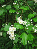 Hybrid Hawthorn - Photo (c) anonymous, some rights reserved (CC BY-SA)