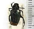 Cremastocheilus harrisi (Kirby) - 5372979448.jpg