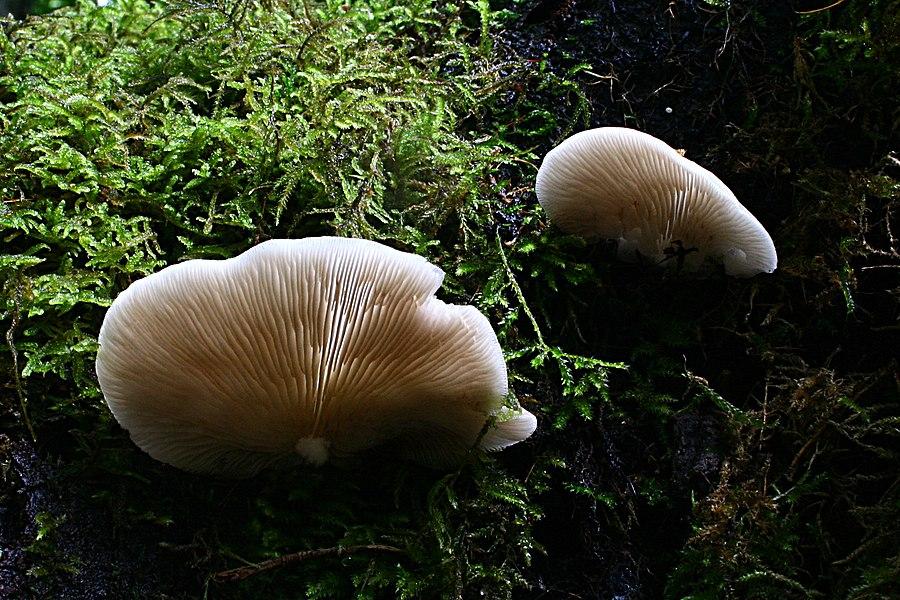 Crepidotus applanatus in a wood near Saint-Honoré-les-Bains, France.