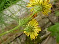 Crepis setosa inflorescence (28).jpg
