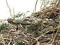 Crocodylus niloticus (21868008782).jpg